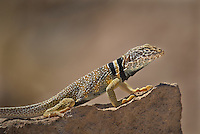 414390010 a wild great basin or desert collared lizard crotaphytus insularis bicinctores perches on a rock along chalk bluff road north of bishop inyo county california united states