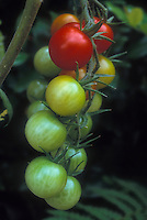 Cherry tomato Sweet 100 tomatoes growing on vine plant showing closeup stages of ripeness from unripe green to yellowing to ripe red