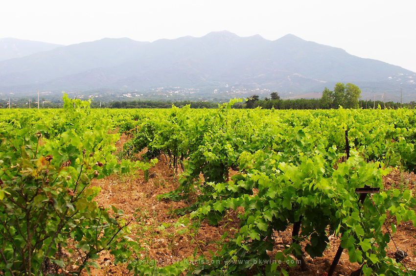 Domaine de Nidoleres. Roussillon. Syrah grape vine variety. In the area called Les Alberes. France. Europe. Vineyard. Mountains in the background.