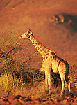Namibia's deserts and their wildlife