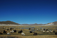 Grazing sheep on the Altiplano in Bolivia
