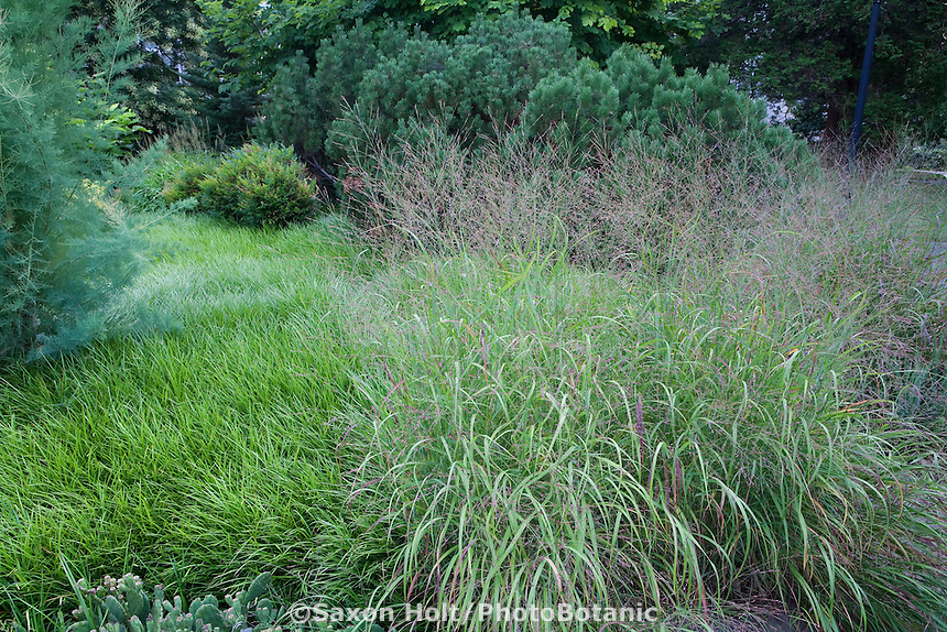 Ornamental grass, switch grass, Panicum virgatum 'Hanse Hermis' in Pennsylvania garden with Lilyturf liriope lawn substitute groundcover