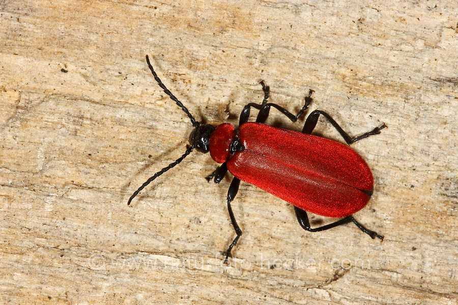 Scharlachroter Feuerkäfer, Feuerfliege, Feuerfliege-Käfer, Pyrochroa coccinea, cardinal-beetle, cardinal beetle, Feuerkäfer, Pyrochroidae, cardinal-beetles, cardinal beetles