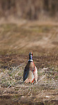 Cackling Rooster Pheasant