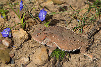 437500004 a wild greater short-horned lizard phrynosoma or tapaja hernandesi rests near the coronado national memorial highway near the entrance to the monument in southeastern arizona