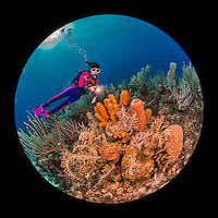 27 July 2015: SCUBA Diver Sally Herschorn explores the sponge formations at Indigo Drop Off, on the North side of Grand Cayman Island. Located in the British West Indies in the Caribbean, the Cayman Islands are renowned for excellent scuba diving, snorkeling, beaches and banking.  Mandatory Credit: Ed Wolfstein Photo *** RAW (NEF) Image File Available ***