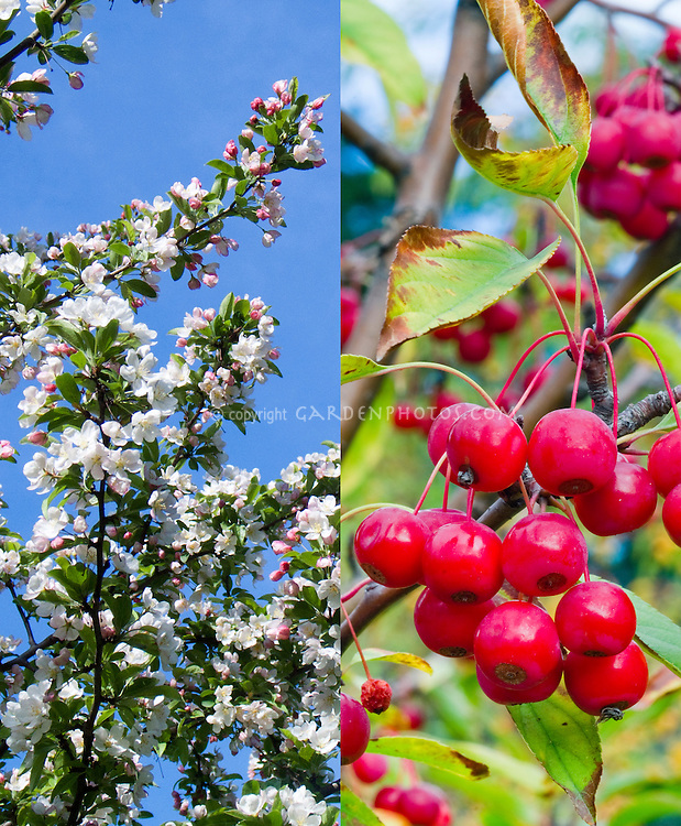Malus Sugar Tyme crabapple in spring flowers and fall fruits in autumn, composite picture