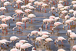 Lesser flamingos, Rift Valley region, Kenya