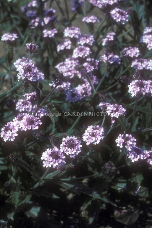 Verbena rigida forma lilacina De La Mina