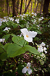 White trillium (Trillium grandiflorum), Cove Hardwood Nature Trail