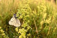 Altwarper Dune - Altwarper Binnendünen | Baumweißling, Baum-Weißling, Baumweissling, Aporia crataegi, black-veined white, , Altwarp, Germany