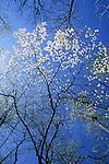 Flowering dogwood (Cornus florida), spring, Eno River State Park, North Carolina