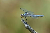 389330010 a wild juvenile male hoary skimmer libellula nodisticta perches on a dead twig in fish slough mono county callifornia
