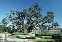 Majestic Live Oak at Middleton Place Plantation, South Carolina