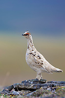 Rock ptarmigan, Utukok uplands, National Petroleum Reserve Alaska, Arctic, Alaska.