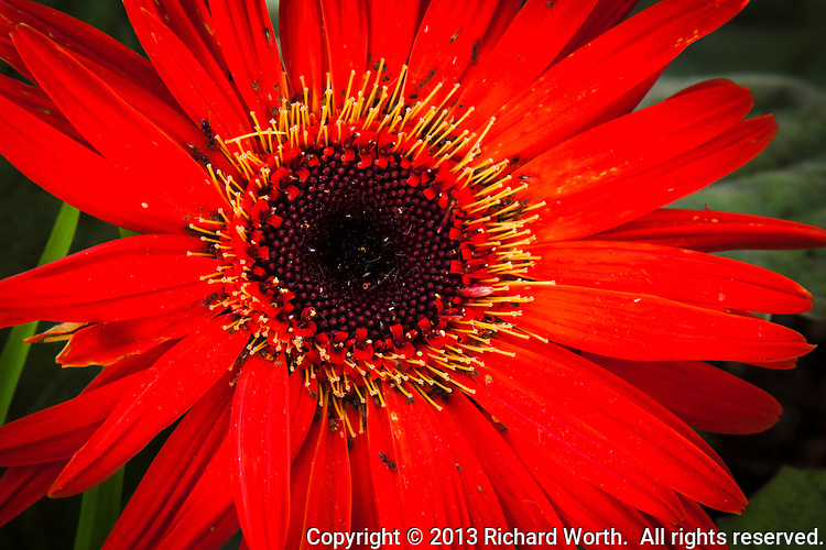 Ants and other small insects abound in a close-up view of a brightly colored daisy.