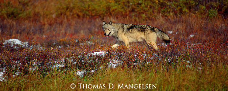 A gray wolf walks among the fall color of the tundra in Denali National Park, Alaska.