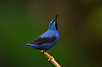 Yellow-legged Honeycreeper or Purple Sugarbird (Cyanerpes caeruleus)
