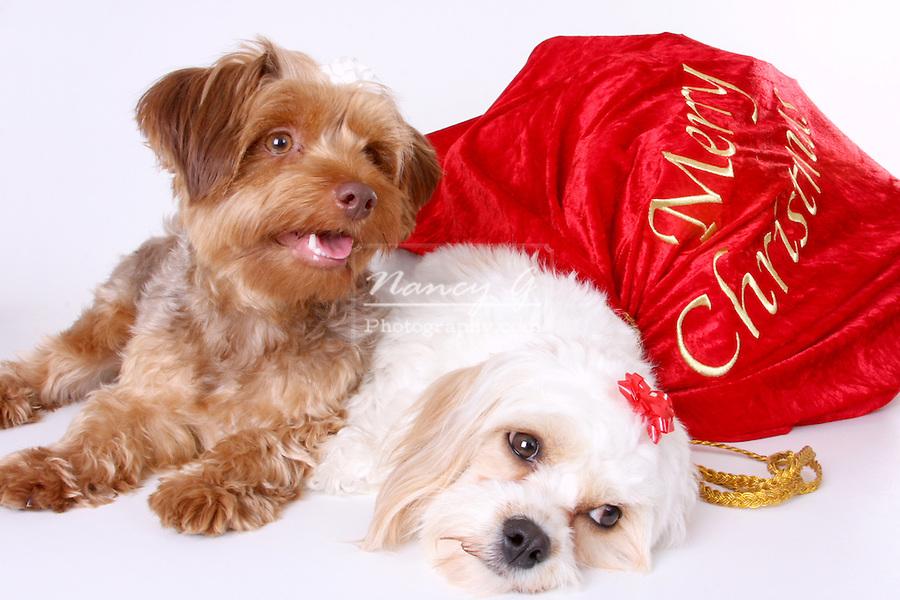 Cavalier King Charles Spaniel Poodle