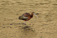 550100001 a wild glossy ibis plegadis falcinellus in breeding plumage feeds along the los angeles river in the sepulveda basin in los angeles county california approximately 1500 miles west of its normal range