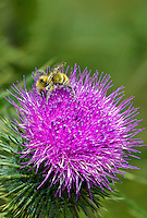 320040053 a wild honey bee apis mellifera feeds on a new mexico or desert thistle cirsium neomexicanum  at bog tank creek in apache county arizona