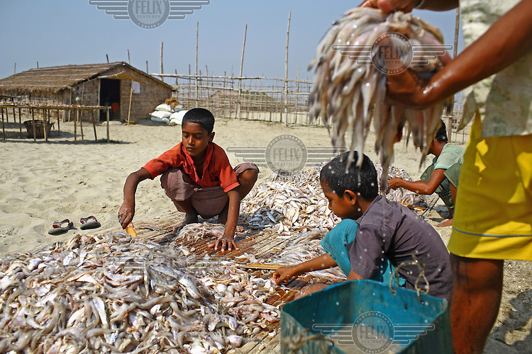 Children work at a dry fish plant on Sonadia island. Dried fish is a popular Bengali food, with 50,000 people employed in the industry in the coastal areas. Around 300 tonnes of dry fish is produced each season, which runs from November to April.
