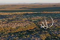 Caribou antlers, Utukok uplands, National Petroleum Reserve Alaska, Arctic, Alaska.