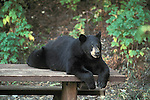 A black bear laying on a picnic table in a Montana National Forest camp ground