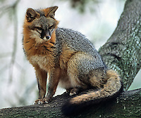 Gray Fox (Urocyon cinereoargenteus), Blue Ridge Parkway, Virginia, USA