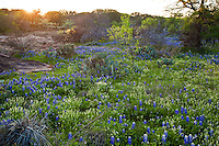 Afternoon Sunset falls on a Meadow of Spring Bluebonnets and pink granite at Lake Buchanan