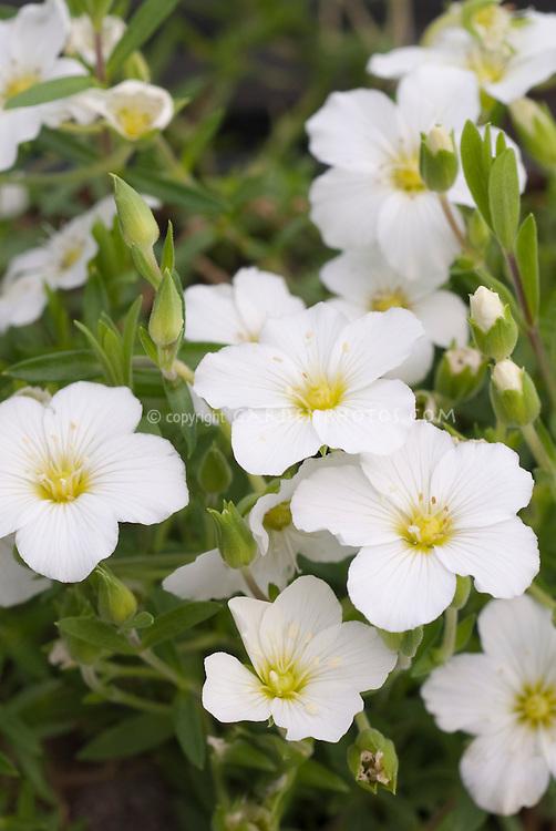 Arenaria montana 'Flurry'