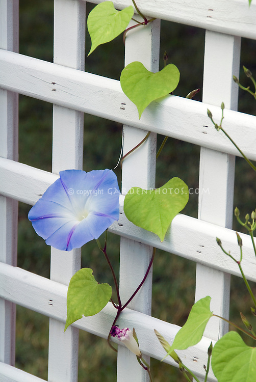 Ipomoea purpurea 'Heavenly Blue' on wooden picket fence (Morning Glory vine)