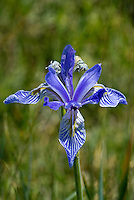 139930010 a wild western blue flag iris douglasiana blooms in a small meadow next to a stream near benton crossing in mono county california