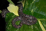 Panamanian Dwarf Boa Snake, Ungaliophis panamensis, Nicaragua, Costa Rica, Panama and northwestern Colombia, curled on leaf in rain, wet.Central America....