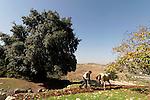 T-032 Kermes Oak in Ein Kinia