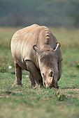 A White Rhinoceros (Ceratotherium simum) grazing, Lake Nakuru National Park, Kenya.