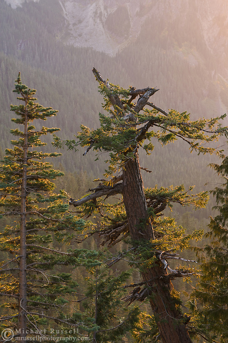 Late evening light on Firs and Cedars at Ricksecker Point, Mount Rainier National Park