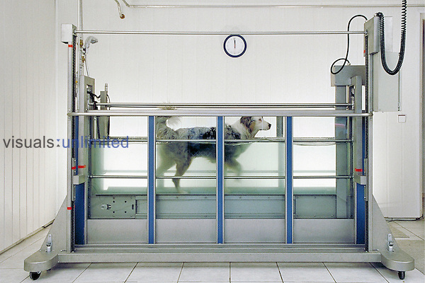 Dog exercising in an aqua trainer to build up its skeleton and strength following surgery or other treatment.