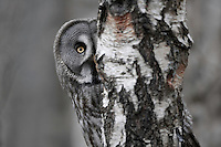 Great grey owl (Strix nebulosa) peering around birch tree, Bergslagen, Sweden.