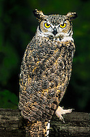 564050013 a great horned owl bubo virginianus perched on a wood rail fence - animal is a wildlife rescue raptor