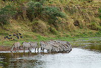 Skittish by nature, zebra will often head to the river in small groups and take a quick drink of water before jumping back from some unseen danger, repeating the process until they have had their fill.