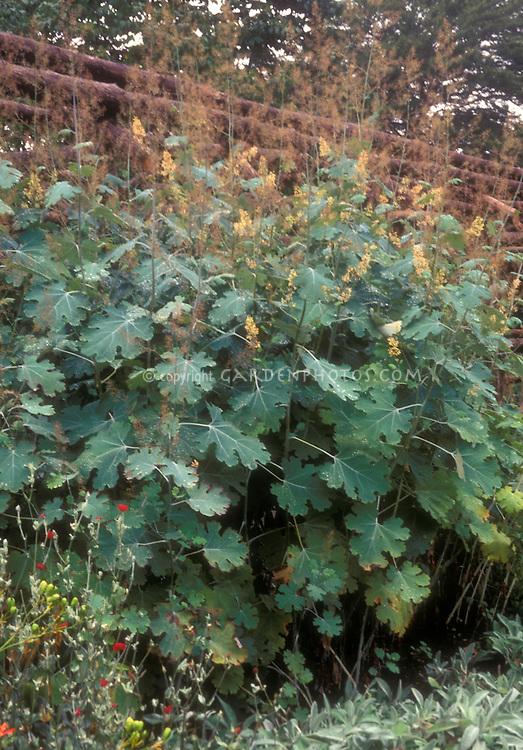 Macleaya kelways plant - coral plume - all perennial plants wwwsuttonscouk