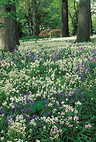 Blooming meadow of spring flowers-- blue bells and snow drops in grove of old trees at the St. Louis Botanical Gardens in spring
