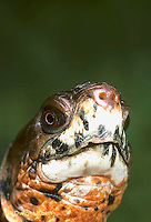 1R43-010x  Eastern Box Turtle - close-up of head - Terrapene carolina