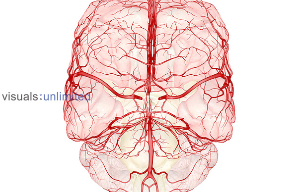 An inferior anterior view of the arteries (red) of the brain. The CNS tissue has been faded. Royalty Free