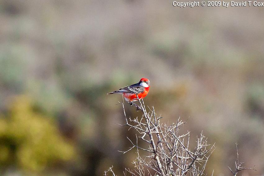 Crimson Chat, west of Pt Augusta, SA, Australia