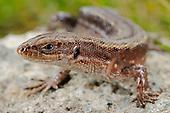 Common or Viviparous Lizard (Zootoca vivipara), Alps, Italy