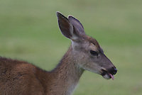 Mule Deer Doe seen up close in California