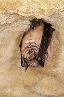 Greater Horseshoe Bat (Rhinolophus ferrumequinum) hibernating in cave, Normandy, France