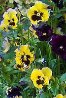Viola Autumn Frills Pansy